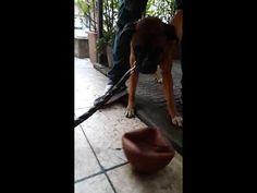 Un Boxer e la sua palla da Basket - YouTube