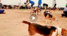 156 Beagles Veem o Sol Pela 1ª Vez Depois De Serem Resgatados De Laboratório