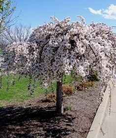 Snow Fountain Weeping Cherry Tree hardwood cuttings for rooting tall Dwarf Cherry Tree, Weeping Cherry Tree, Small Weeping Trees, Small Trees, Trees For Front Yard, Front Yard Plants, White Cherry Blossom, Cherry Blossoms, Japanese Tree