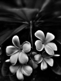 Plumeria black and white Guam