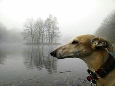 Our sweet Galgo Espanol Novio sighthound - greyhound - Galgo - rescue dog