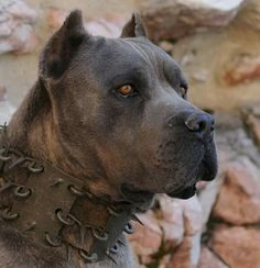 From ' The Cane Corso Club of America ' Cane Corso Italian Mastiff, Cane Corso Mastiff, Cane Corso Dog, Cane Corso Puppies, Bully Dog, Real Dog, Mundo Animal, Family Dogs, Big Dogs