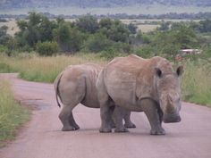 We found Rino's on the road at Pilansberg National Park in South Africa, they were very close.
