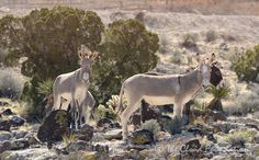 "U.S. WILD BURROS NEED OUR HELP : With wild burros at crticially low numbers, we are calling for the creation of a ""National Wild Burro Range"" in Arizona. Please Sign the Petition : http://act.wildhorsepreservation.org/p/dia/action3/common/public/?action_KEY=20230"
