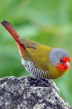 The green-winged pytilia is a common species of estrildid finch found in Africa. It has an estimated global extent of occurrence of 6,000,000 square kilometres. It is found in most of Africa south of the Sahara. WikipediaGreen-winged Pytilia