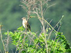 カワラヒワ. Oriental Greenfinch. 26 May 2017.