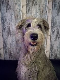Earl of Castle-Mountain Large Dog Breeds, Large Dogs, Cute Dogs And Puppies, Doggies, Irish Wolfhounds, Lurcher, Gentle Giant, Adorable Animals, Puppy Love