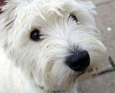 west highland terrier or westie