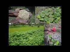 Medicinal Rice B4 Formulations for Enuresis: Pankaj Oudhia's Medicinal P...