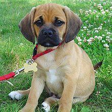 Beagle — Wikipédia