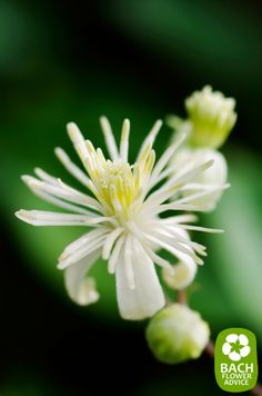 "Bach flower remedy Clematis. This Bach Flower is a part of the group of ""insufficient interest in the here & now"". Bach Flower remedy Clematis helps people who find it difficult focusing on the present moment in time. #bachflowerremedies #clematis #edwardbach"