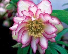 Hybrid Lenten Rose for sale buy Helleborus x hybridus 'Rose Quartz'