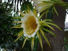 Dragon Fruit flower - I can't wait till mine blossoms! Strange Flowers, Unusual Flowers, Unusual Plants, Rare Flowers, Exotic Plants, Cool Plants, Amazing Flowers, Beautiful Flowers, Dragon Fruit Flower