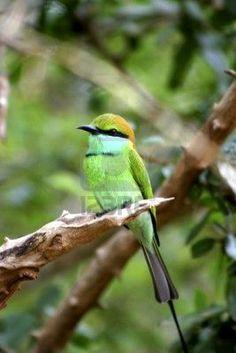Grüne Vogel auf einem Baum Zweig.