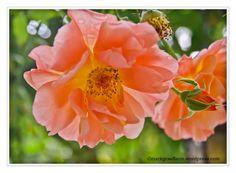"""September – Rose """"Westerland"""""""