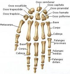 Arquivo Anatomia (apostila completa).doc enviado por Eugênio  no curso de Fisioterapia na UNINORTE. Sobre: Musculos, articulações, ossos e ligamentos, apostila completa Human Skeleton Anatomy, Human Body Anatomy, Anatomy Study, Anatomy Reference, Mental Map, Medicine Student, Medical Anatomy, Forensic Anthropology, Medical Terminology