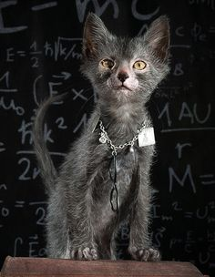 lykoi cat - Google Search