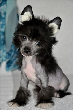This looks just like our Nico when he was a baby!!! Chinese Crested Dog - Elfgrace Olaydo Oluen.