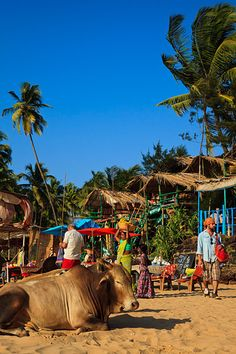 Cows resting in front of the souvenir stalls, beach huts and restaurants which line the beach in Anjuna, located in Northern Goa
