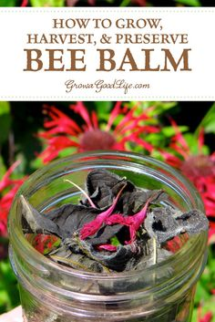 Bee balm (Monarda) is a popular perennial plant used in bee and butterfly gardens. Bee balm is a native plant and also has a long history of medicinal uses. Healing Herbs, Medicinal Plants, Natural Healing, Wound Healing, Bee Balm Flower, Bee Balm Plant, Herbal Magic, Natural Medicine, Holistic Medicine
