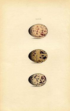 Instant Art Printable - Morris Egg Print - Natural History - The Graphics Fairy #Printable #Vintage