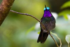 purple throated mountain gem (photos by herpindiego and...