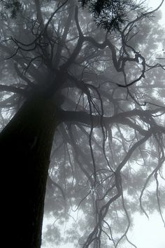 Tree shrouded in fog, Lushan, China by shenxy