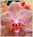 Four Spike Sunburst Orchid Combo