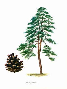 This original botanical illlustration comes from the pri. Tree Illustration, Botanical Illustration, Botanical Drawings, Botanical Prints, Illustration Botanique Vintage, Pine Tree Art, Tree Id, Plant Bugs, Impressions Botaniques