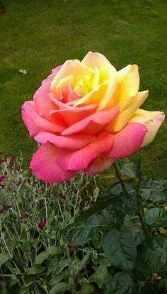 Beautiful Rose Flowers, Love Rose, Flowers Nature, Exotic Flowers, Amazing Flowers, Spring Flowers, Beautiful Flowers, Ronsard Rose, Rare Roses
