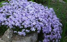 Check out these 18 Flowering Ground Cover Plants, you& find some best low growing plants on this list, they& not only easy to grow but looks beautiful too. Purple Flower Ground Cover, Flowers Perennials, Planting Flowers, Phlox Plant, Moss Phlox, Plantas Indoor, Rock Garden Plants, Vegetable Garden, Container Gardening