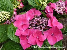 Another variety of ydrangea in my garden
