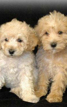 Teddy Bear puppies- I want one!
