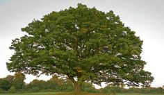 Big, old oak tree still with green leaves in the fall in a winter crops field.