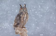 European Eagle Owl by Dara Lork on 500px