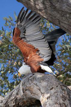 Fish Eagle . . beautiful photo