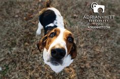 Basset Hound dog photography by Adrian Hitt