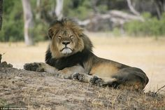 Stunning: Cecil the lion was popular with visitors to Hwange National Park in Zimbabwe who...
