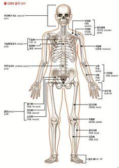 해부학 뼈 골격 human bone anatomy 691hue : 네이버 블로그