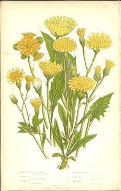 Antique Color Anne Pratt Flower Plant Print Botanical Plate 112 c.1850