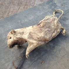 Found in a wall - Jacob the mummified rat!