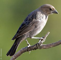 Female Brown-headed Cowbird. One of these is currently following a male Towhee and flapping her wings to be fed.  He eats and feeds her. Obviously she was placed in his nest. Photo by D. Kinneer