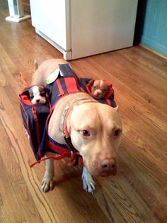 mommy pitbull carrying her puppies <3