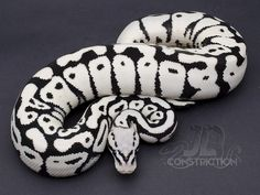 Stormtrooper Transferring to the Darkside Swell Reptiles Stormtrooper Transferring to the Darkside Swell Reptiles Pretty Snakes, Cool Snakes, Beautiful Snakes, Reptiles Et Amphibiens, Cute Reptiles, Ball Python Morphs, Beaux Serpents, Beautiful Creatures, Animals Beautiful