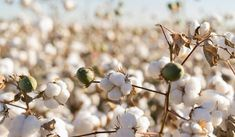 Cotton plantations across Haryana, Rajasthan and Punjab may see stunted growth due to dust storms that have raised pollution levels in the north-western region in the last fortnight. The dust has left a thick layer of sand on month-old cotton plants, restricting their vegetative growth.