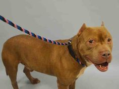 PULLED BY GLEN WILD ANIMAL RESCUE - 12/24/15 - NEW HOPE RESERVED - TO BE DESTROYED - 12/23/15 - TIMBERLAND - #A1060639 - Urgent Manhattan - MALE BROWN/WHITE PIT BULL MIX, 1 Yr - STRAY - NO HOLD Intake 12/15/15 Due Out 12/18/15 - VERY NERVOUS, TENSE, RESISTED BEING EXAMINED