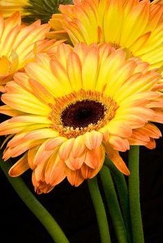 Peach and Yellow Gerbera Daisy with Dark Center