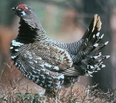 Spruce grouse, Falcipennis canadensis