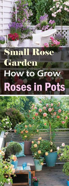 If you have a limited space and you want to create a small rose garden there then growing roses in containers is the best option for you. balcony garden How to Grow Roses on Balcony, Patio and Terrace Garden Shrubs, Garden Pots, Garden Landscaping, Landscaping Tips, Shade Garden, Garden Web, Herb Garden, Small Gardens, Outdoor Gardens