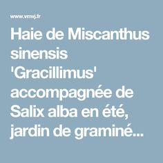 Haie de Miscanthus sinensis 'Gracillimus' accompagnée de Salix alba en été, jardin de graminées, photo Philippe Perdereau | Votre Maison Votre JardinVotre Maison Votre Jardin